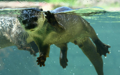 Floating otters wallpapers and image