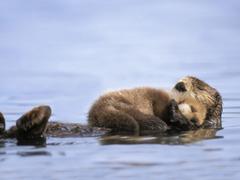 Animals Alaska Otters Gulf Baby Sea Allin Otter Wallpapers Desktop