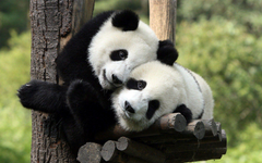 Two panda bears in a tree wallpapers