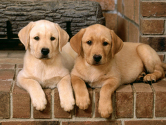 Labrador Retriever Wallpapers