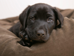 Little labrador