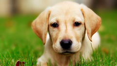 Dog Labrador wallpapers
