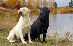 Pix For Yellow Labrador Wallpapers