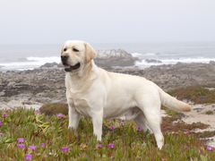 Yellow Labrador Retriever Wallpapers Image Pictures