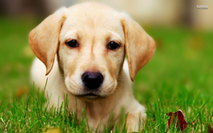 Labrador puppy wallpapers