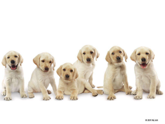 Pictures Of Labrador Pups 16152 Wallpapers