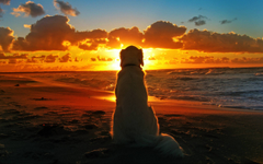 Labrador Retriever At Seashore