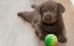 labrador retriever playing ball wide hd wallpapers