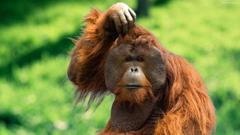 Orangutan Wallpapers HD Backgrounds Image Pics Photos