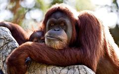 Orangutan Wallpapers and Backgrounds Image