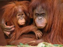 Orangutan Wallpapers 12