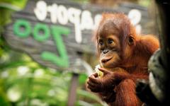 Baby Orangutan wallpapers