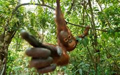 Orangutan HD Wallpapers