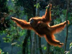 Orangutan Wallpapers 5