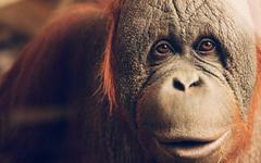 Orangutan Wallpapers