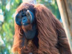 Where Is Wallpaper orangutan wallpapers