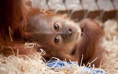 orangutan backround