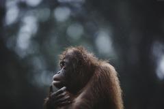 k Wallpapers Orangutan Borneo Malaysia Wildlife National Geographic