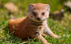 Best 43 Mongoose Wallpapers on HipWallpapers