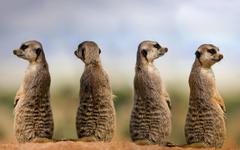 Meerkat HD Wallpapers