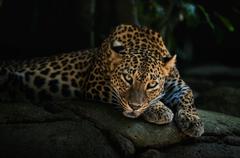 Best 52 Leopard Wallpapers on HipWallpapers
