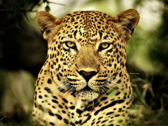 Animal Leopard Wallpapers
