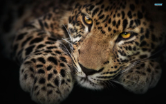 Wallpapers Leopard
