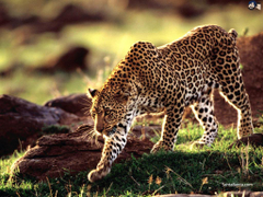 Leopards Wallpapers