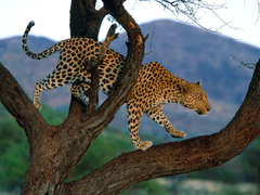 Animal Wallpapers 2015 Leopards Wallpapers