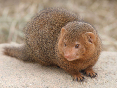 Dwarf Mongoose Hd Animal Wallpapers Pet Love Cool Animals