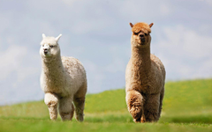 Wallpapers Lama 2 Meadow Animals