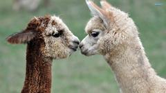 Llama Meme Wallpapers