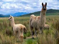 Llama wallpapers