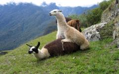 File Llama Wallpapers