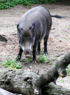 2019 year of the pig peccary winter 46045