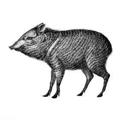 Royalty Peccary Stock Photos