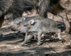 rare mammals Chacoan peccaries born in Prague zoo