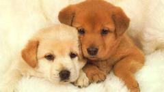 Puppies Wallpapers Desktop Group