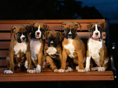 Boxer Puppy Wallpapers Group