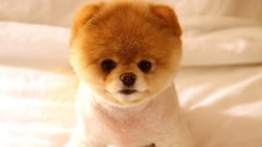 Pomeranian Puppy Wallpapers Group