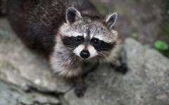 Raccoon HD Wallpapers