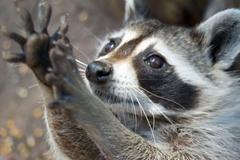 Raccoon Wallpapers 7