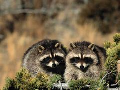 Raccoon HD Desktop Wallpapers
