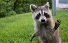 Raccoon Funny Wallpapers