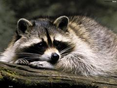Sad raccoon HD Wallpapers