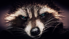 Raccoon Wallpapers Best Raccoon Wallpapers in High Quality