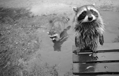 Urban Ecosystems Why there s probably a raccoon living on your