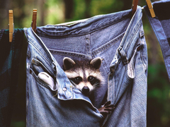 jeans animals raccoons Wallpapers