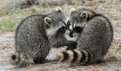 raccoons the pair fluffy HD wallpapers