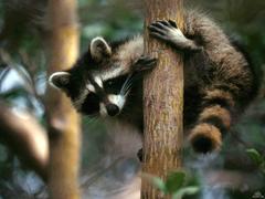 Raccoons Wildlife Animal Pest Control